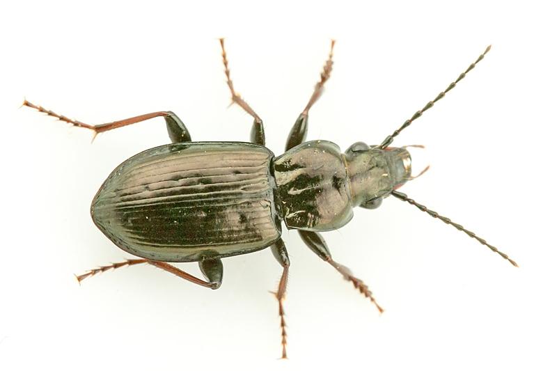 Bronzejordløber (Pterostichus oblongopunctatus)