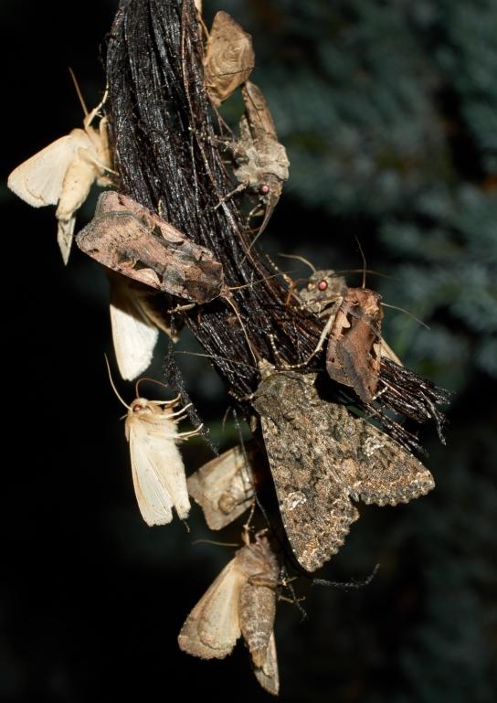 Foto/billede af Kålugle (Mamestra brassicae)