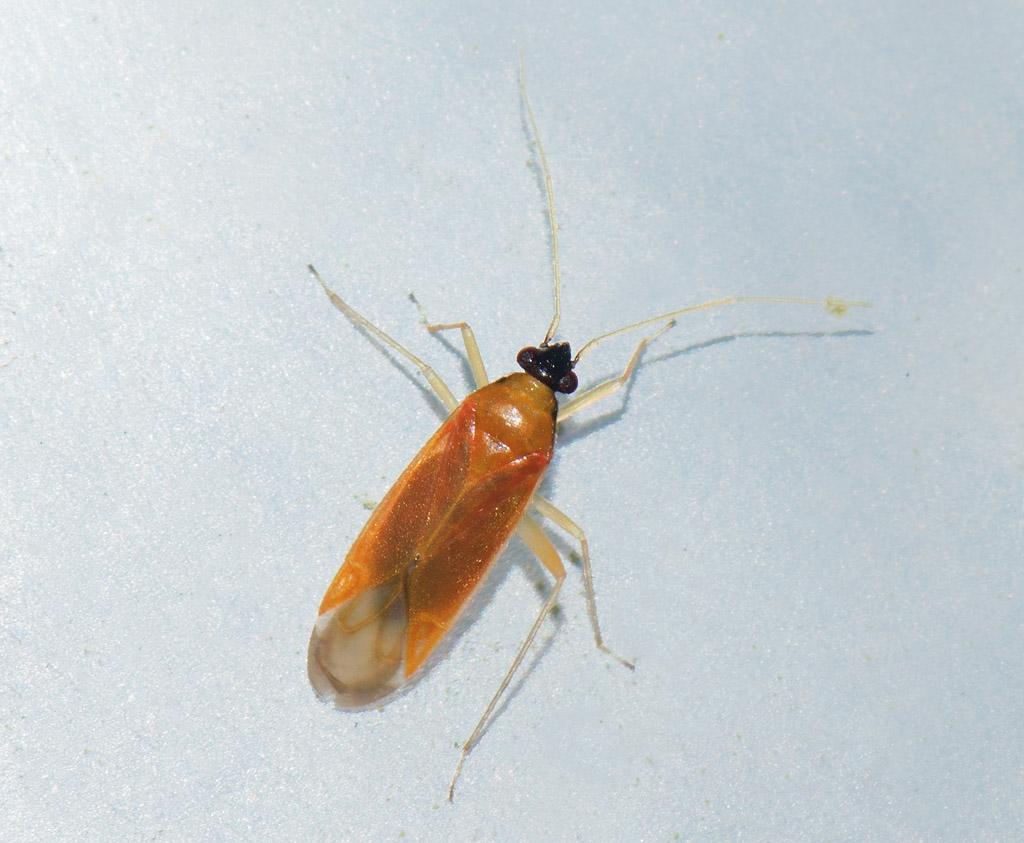 Foto/billede af Egeblomstertæge (Phylus melanocephalus)