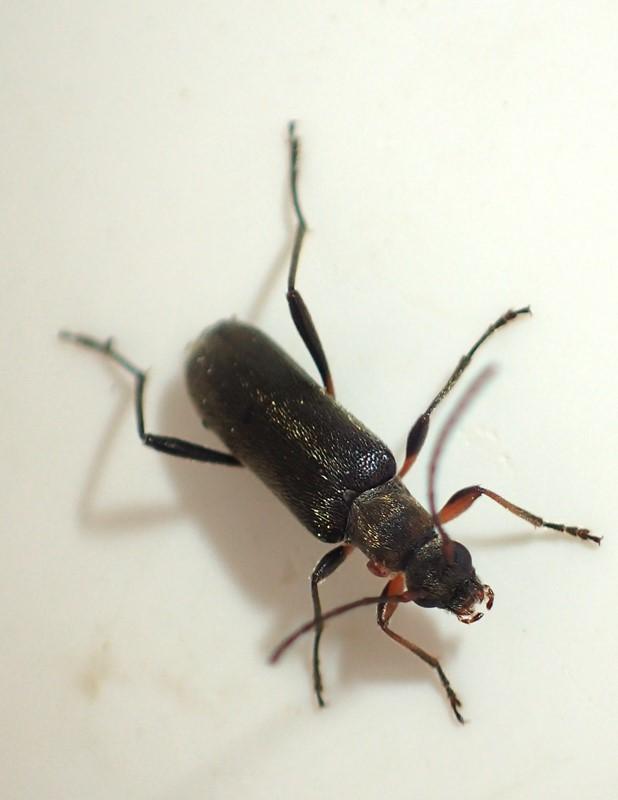 Lille Blomsterbuk (Grammoptera ruficornis)