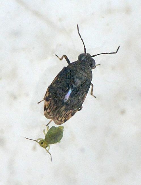 Almindelig Springtæge (Saldula saltatoria)