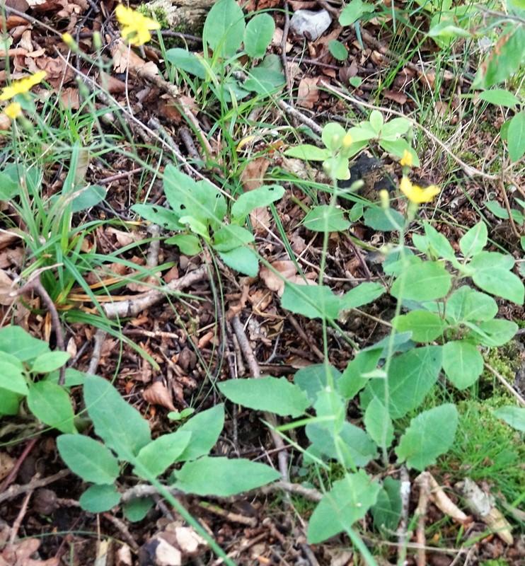 Foto/billede af Hieracium grandidens (Hieracium grandidens)