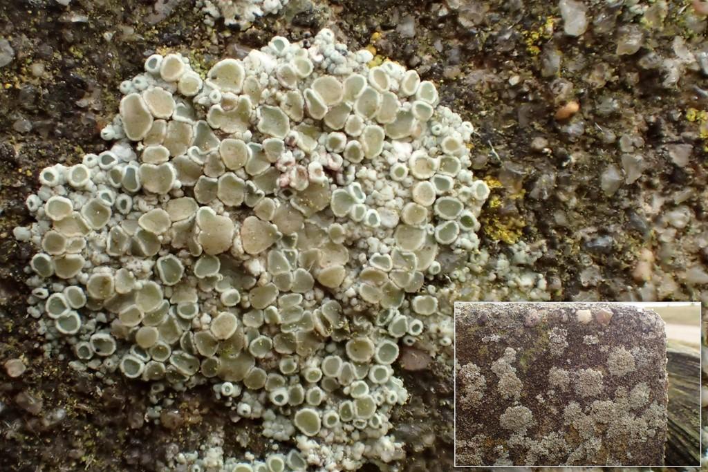 Foto/billede af Cement-Kantskivelav (Lecanora albescens)