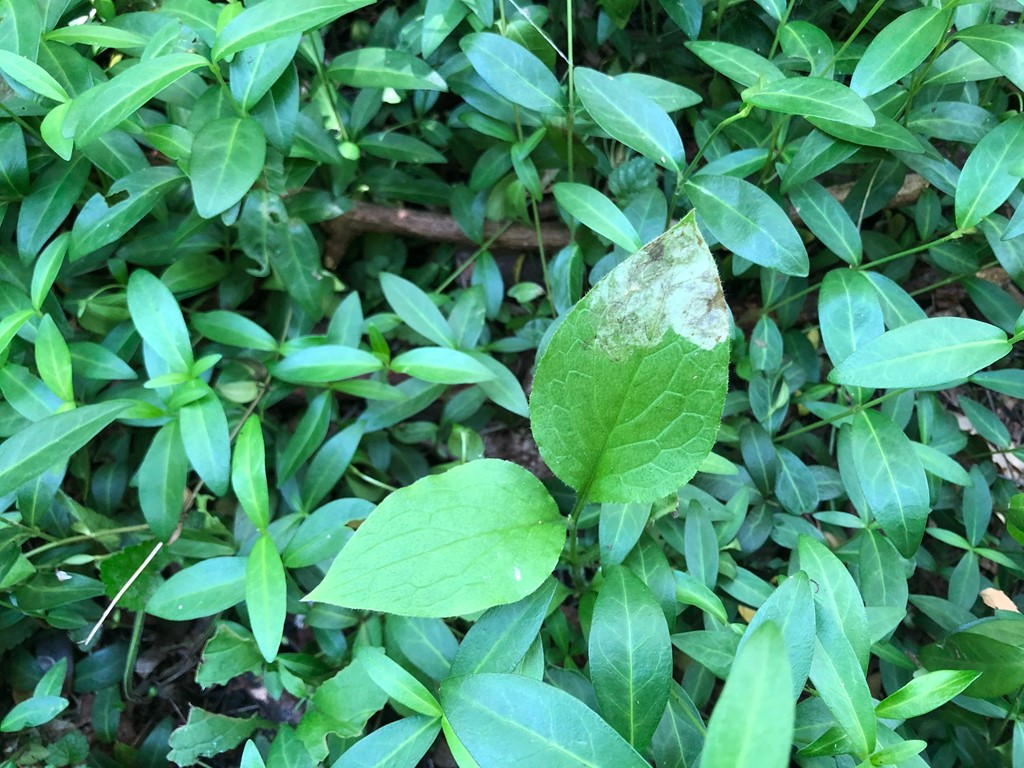 Agromyza abiens (Agromyza abiens)
