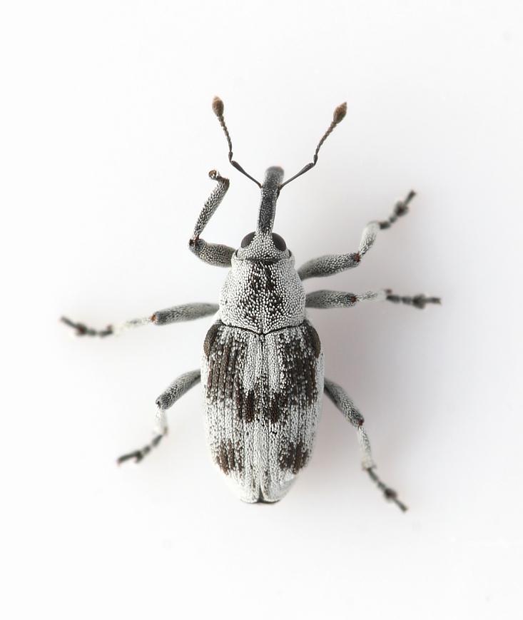 Foto/billede af Poophagus sisymbrii (Poophagus sisymbrii)