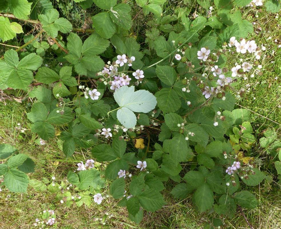 Foto/billede af Armensk Brombær (Rubus armeniacus)