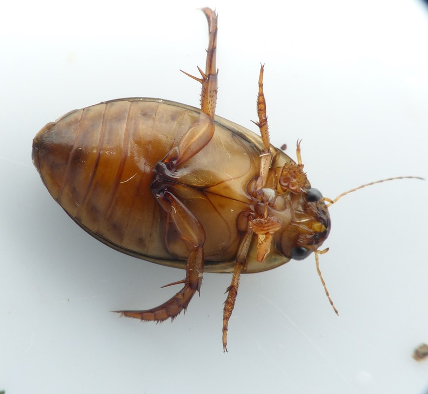 Graphoderus zonatus (Graphoderus zonatus)