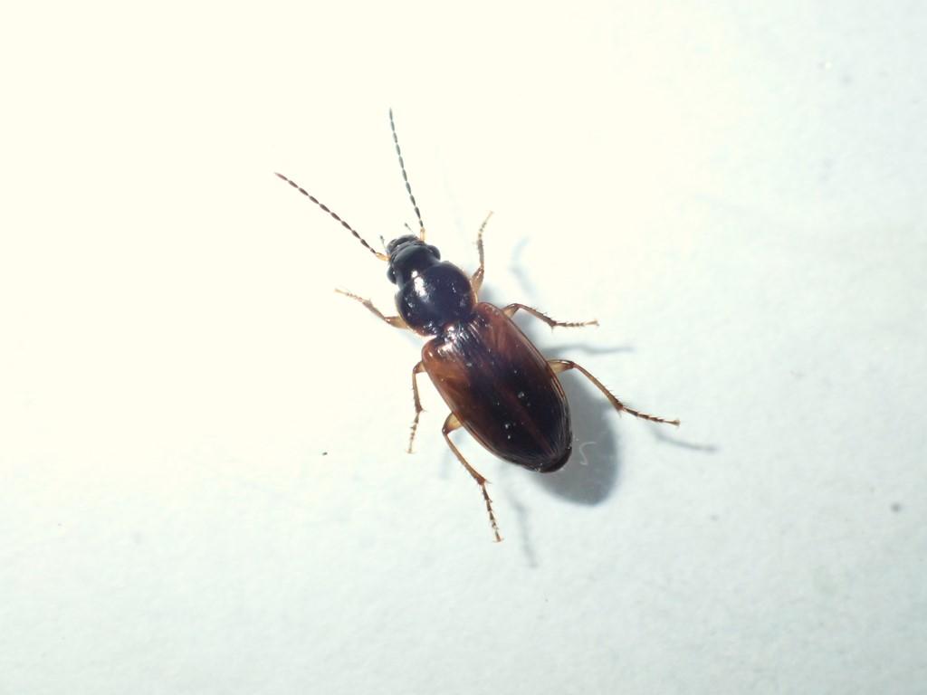 Foto/billede af Mørk Damløber (Stenolophus mixtus)