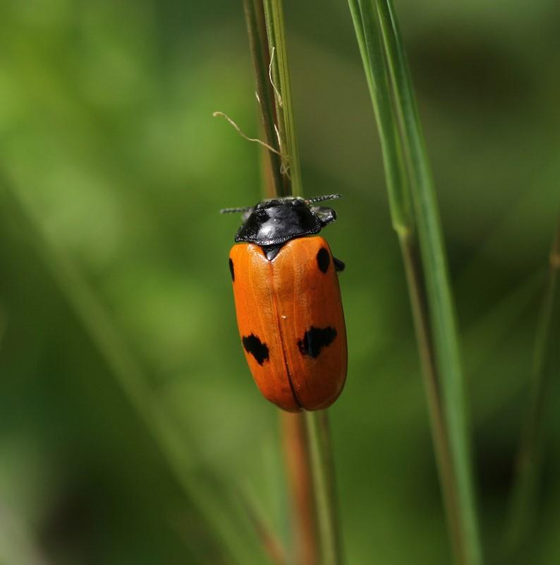Foto/billede af Myrebladbille (Clytra quadripunctata)