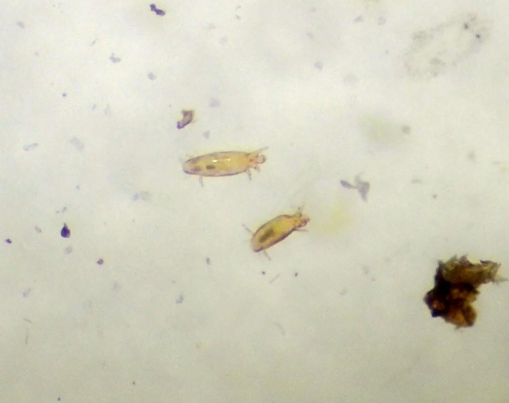 Foto/billede af Tagrørglasmide (Steneotarsonemus phragmitidis)