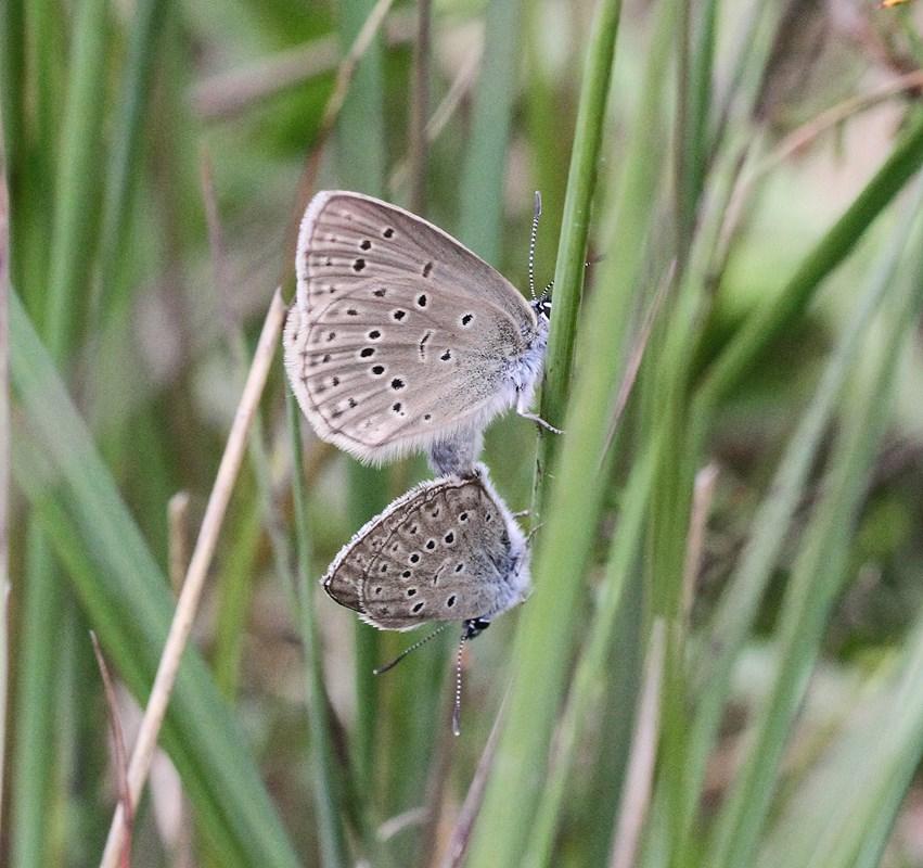 Foto/billede af Ensianblåfugl (Maculinea alcon)