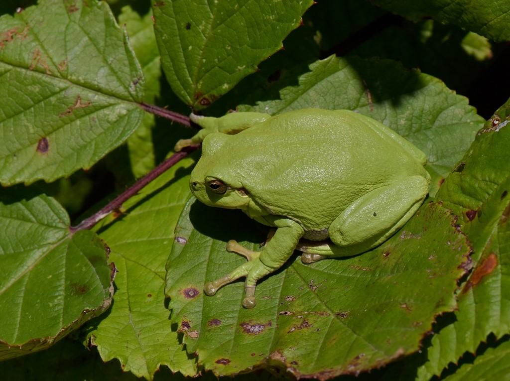 Foto/billede af Løvfrø (Hyla arborea)