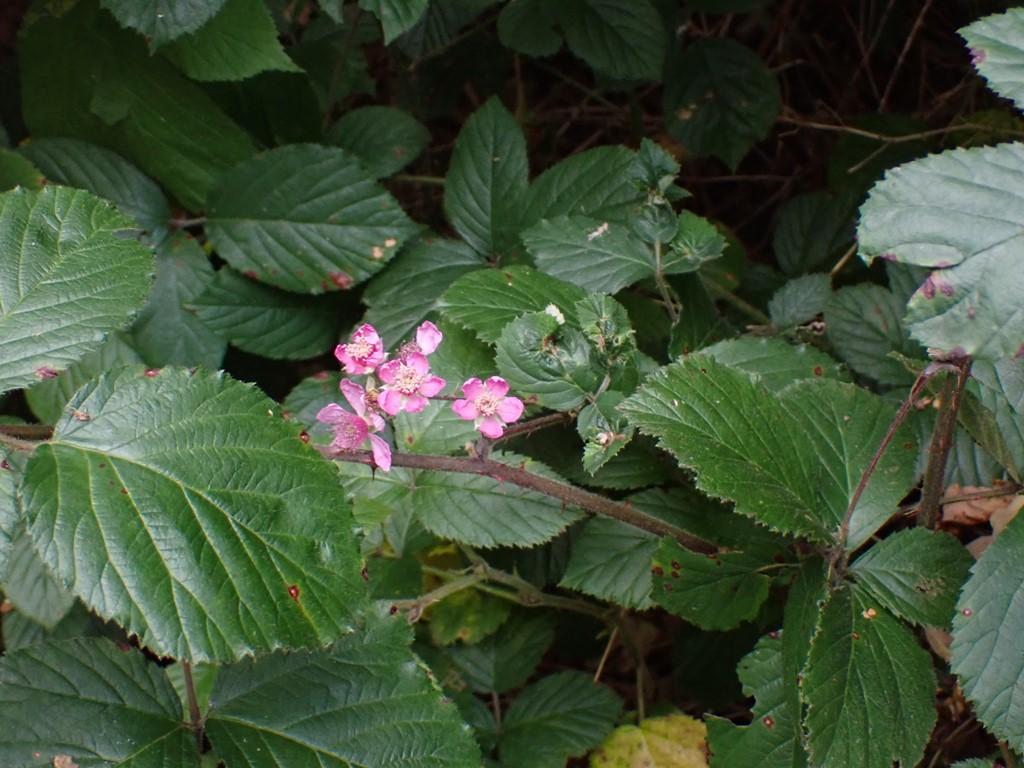 Rundbladet Brombær (Rubus vestitus)