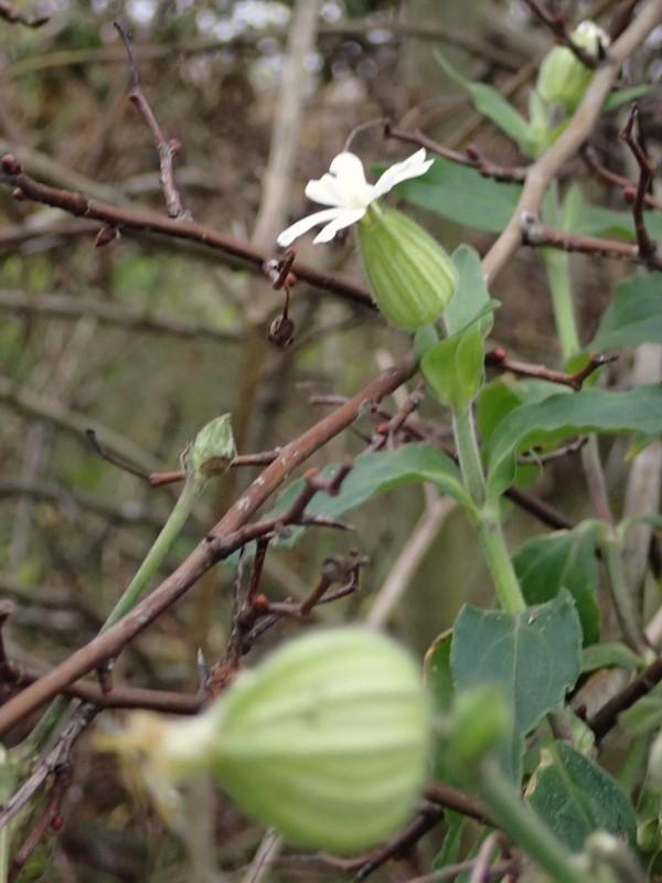 Foto/billede af Aften-Pragtstjerne (Silene latifolia ssp. alba)