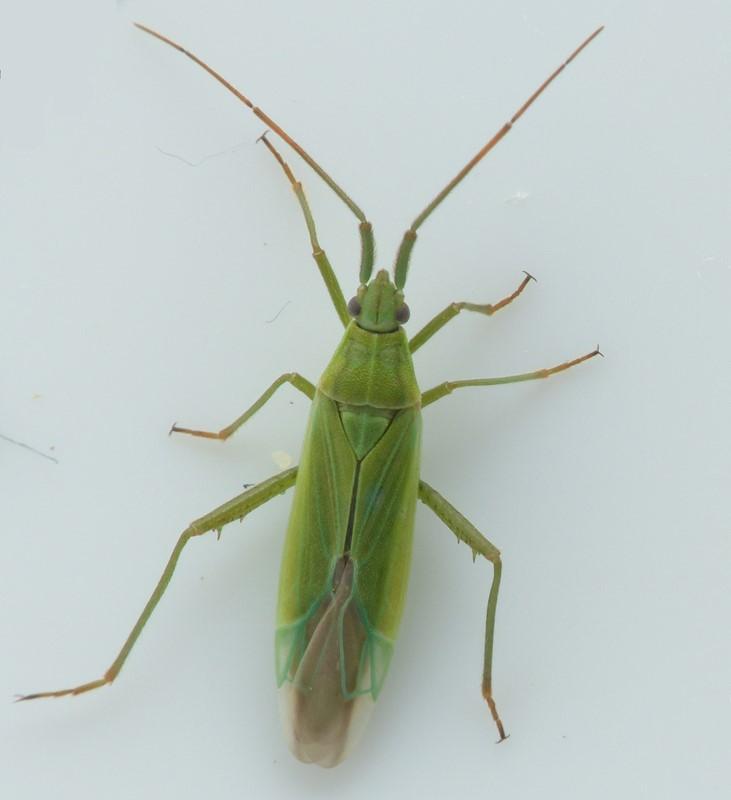 Foto/billede af Stenodema trispinosa (Stenodema trispinosa)
