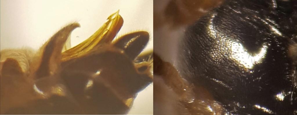 Eridolius gnathoxanthus