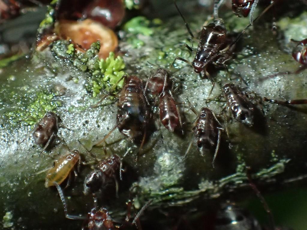 Foto/billede af Lachnus iliciphilus (Lachnus iliciphilus)