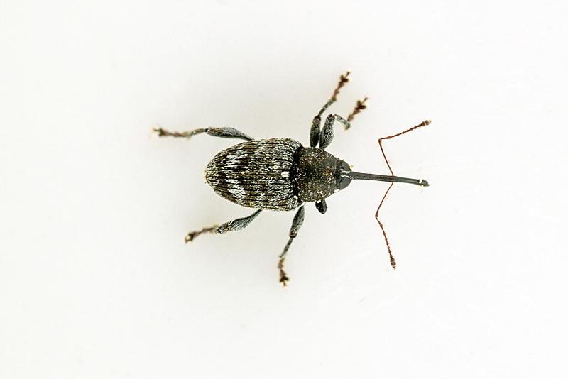 Foto/billede af Curculio villosus (Curculio villosus)