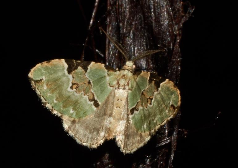 Grøn Bladmåler (Colostygia pectinataria)