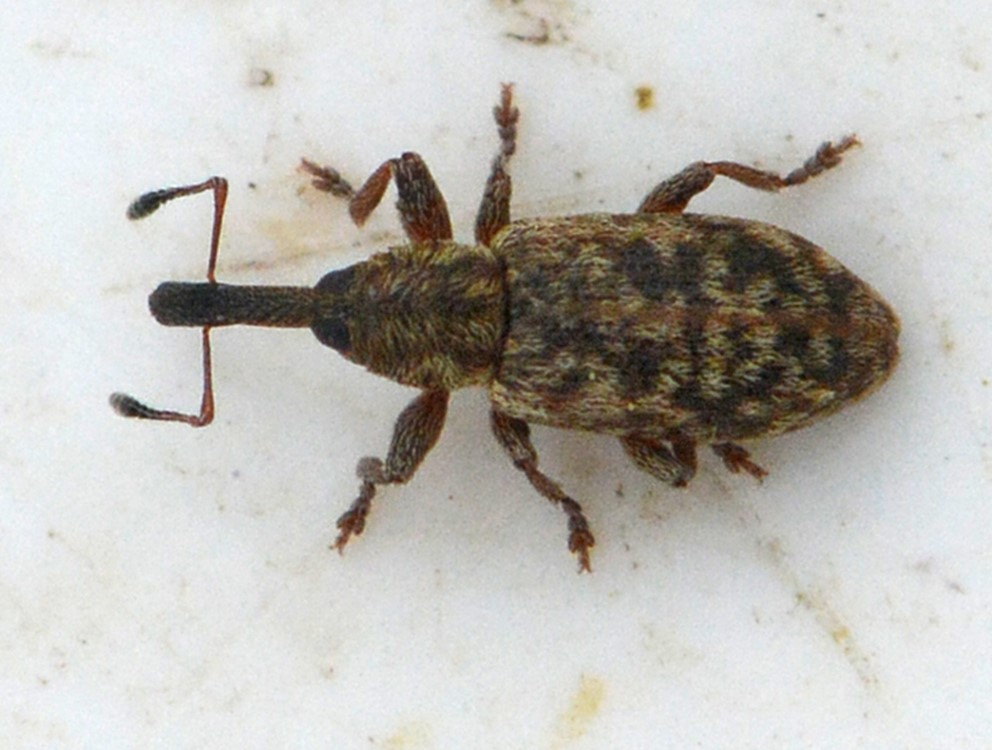 Dorytomus salicinus