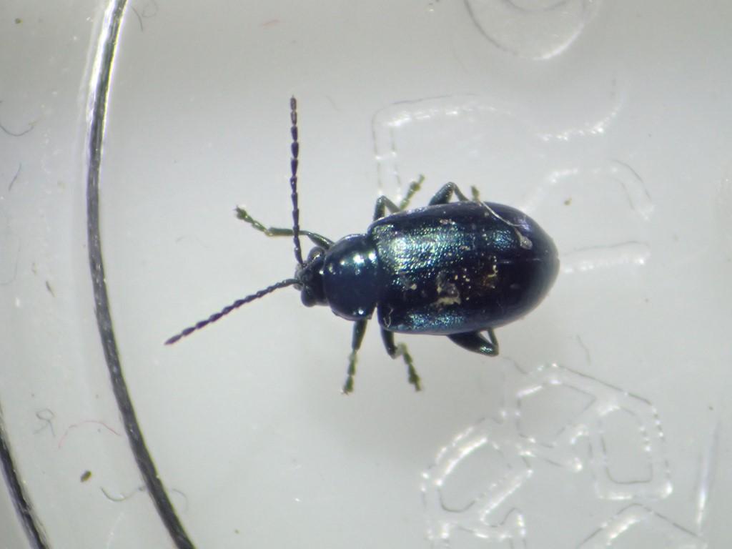 Stor Blå Jordloppe (Altica oleracea)