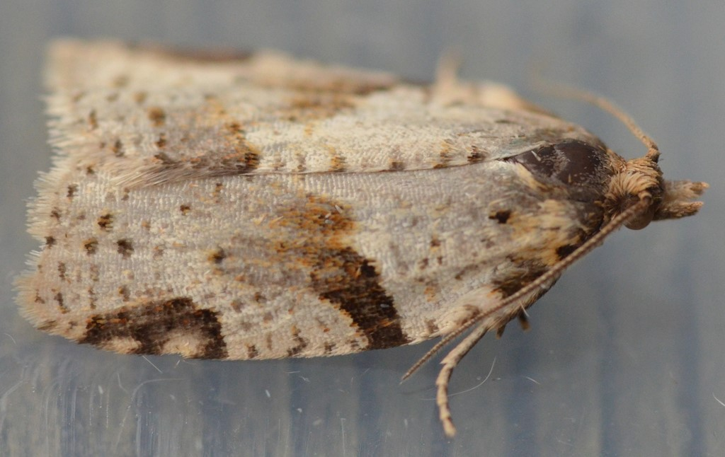Foto/billede af Clepsis spectrana (Clepsis spectrana)