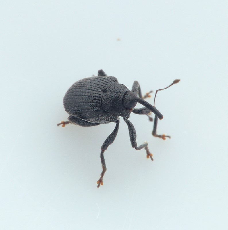 Ceutorhynchus alliariae