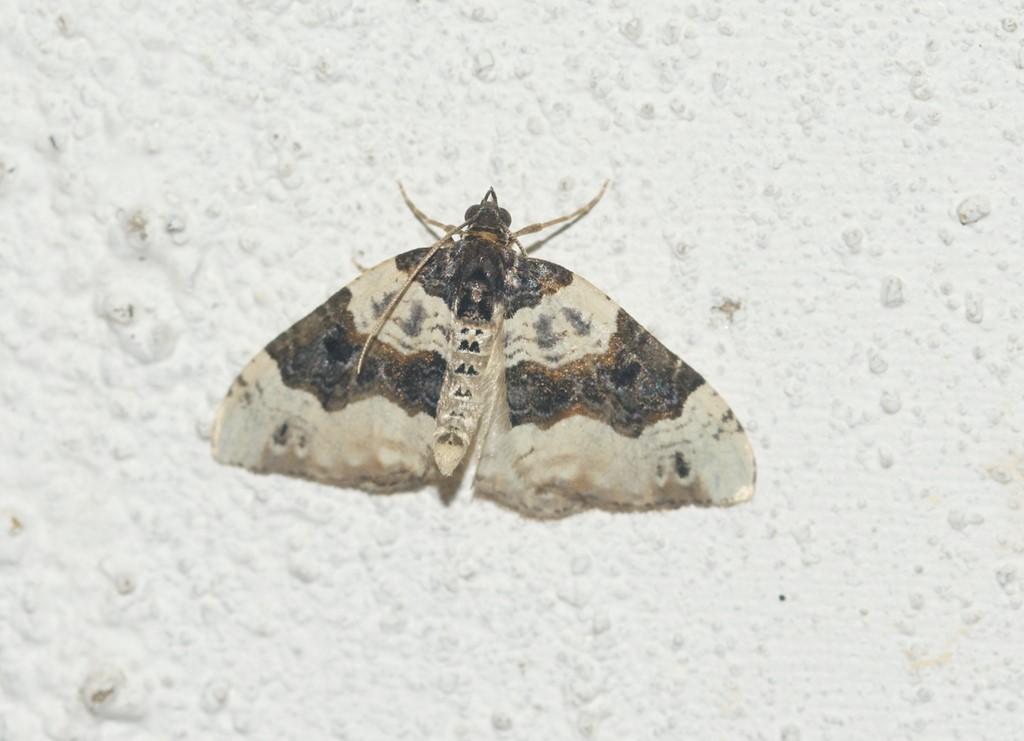 Foto/billede af Snerre-Bladmåler (Cosmorhoe ocellata)