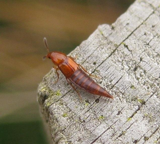 Foto/billede af Ischnosoma splendidum (Ischnosoma splendidum)