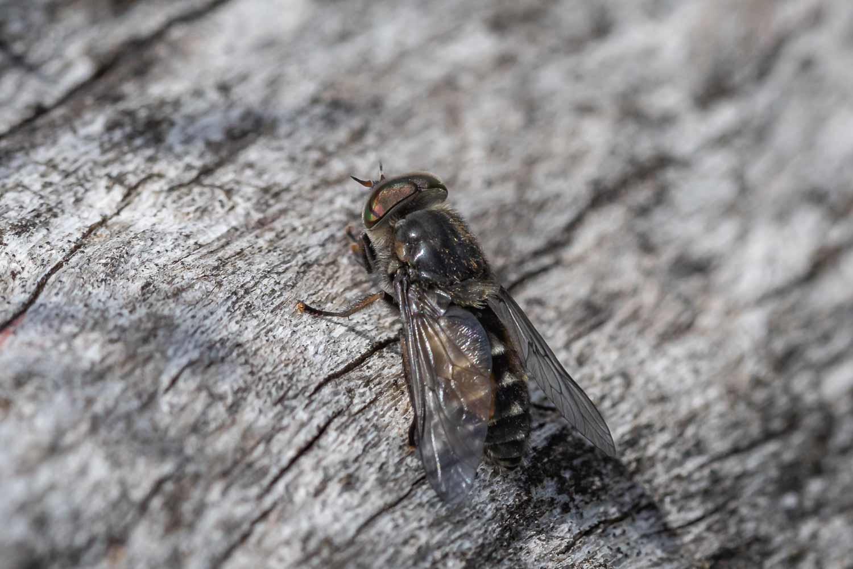 Hybomitra sp. (Hybomitra sp.)