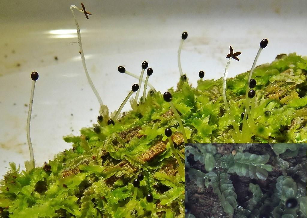 Foto/billede af Forskelligbladet Kamsvøb (Chiloscyphus profundus)