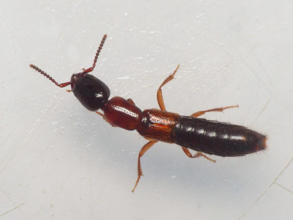 Xantholinus elegans