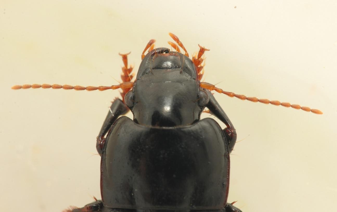 Foto/billede af Rødfodet Markløber (Harpalus tardus)