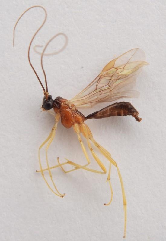 Macrocentrus thoracicus