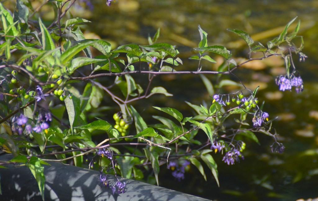 Foto/billede af Bittersød Natskygge (Solanum dulcamara var. dulcamara)