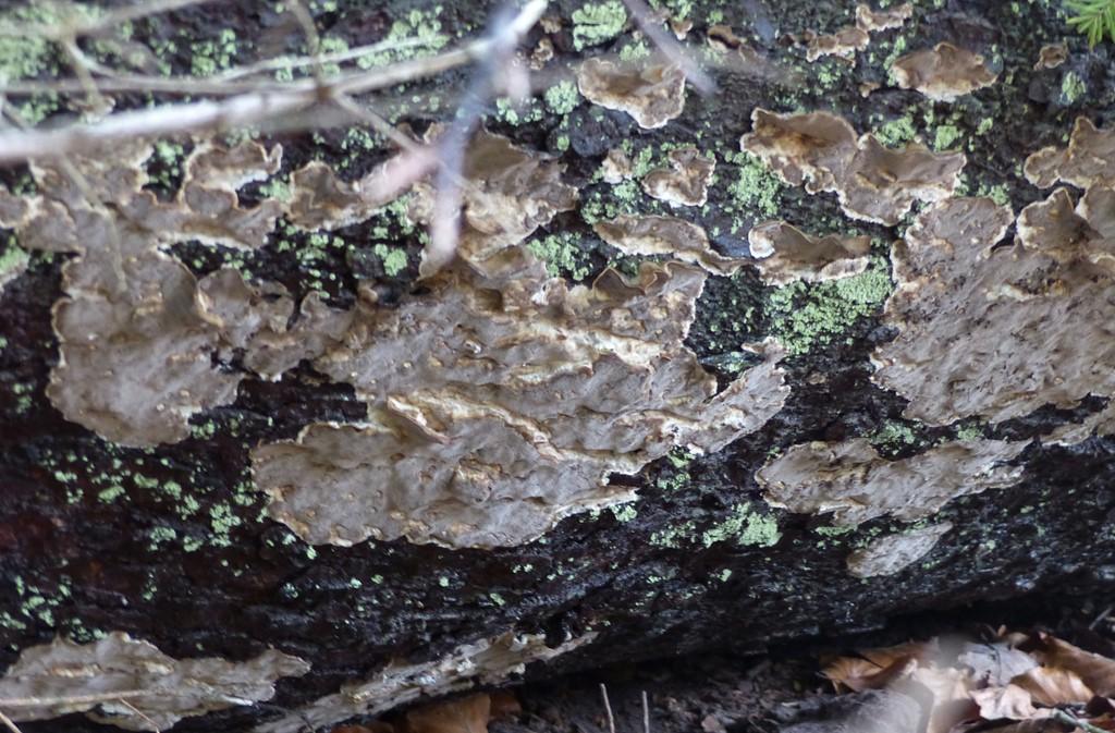 Gran-Lædersvamp (Amylostereum chailletii)
