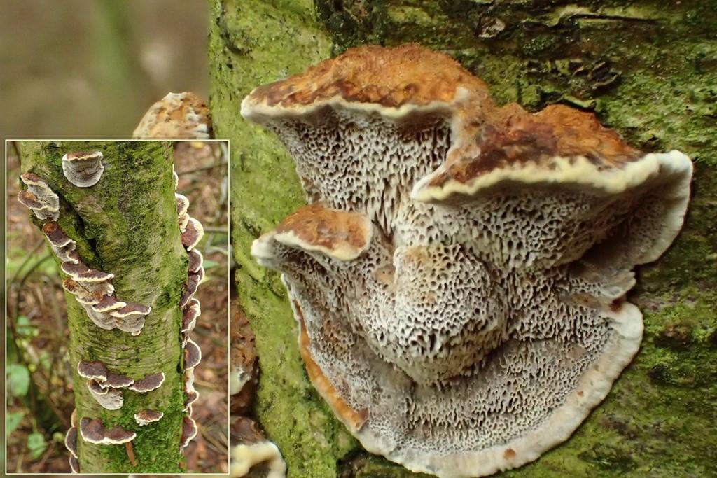 Foto/billede af Elle-Spejlporesvamp (Mensularia radiata)