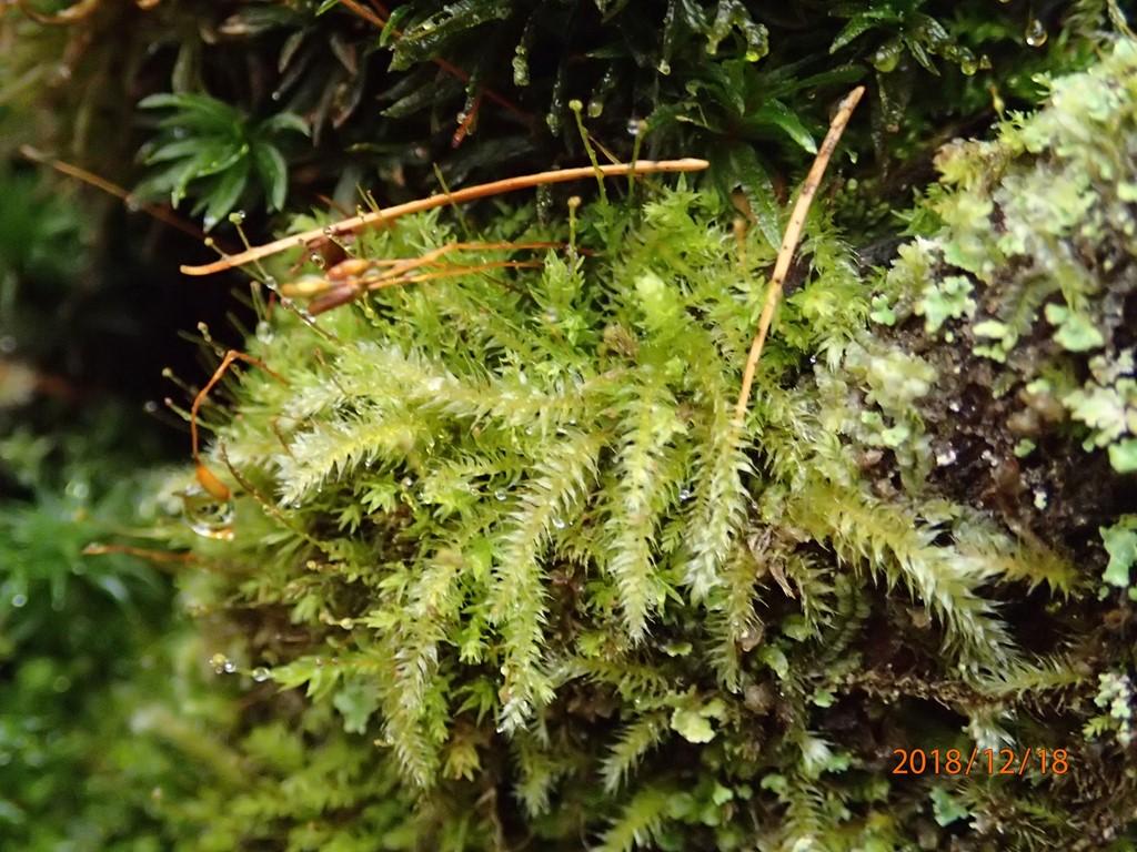 Foto/billede af Stub-Pølsekapsel (Herzogiella seligeri)