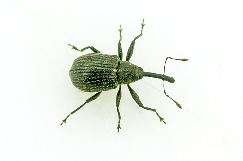 Foto/billede af Hindbærsnudebille (Anthonomus rubi)
