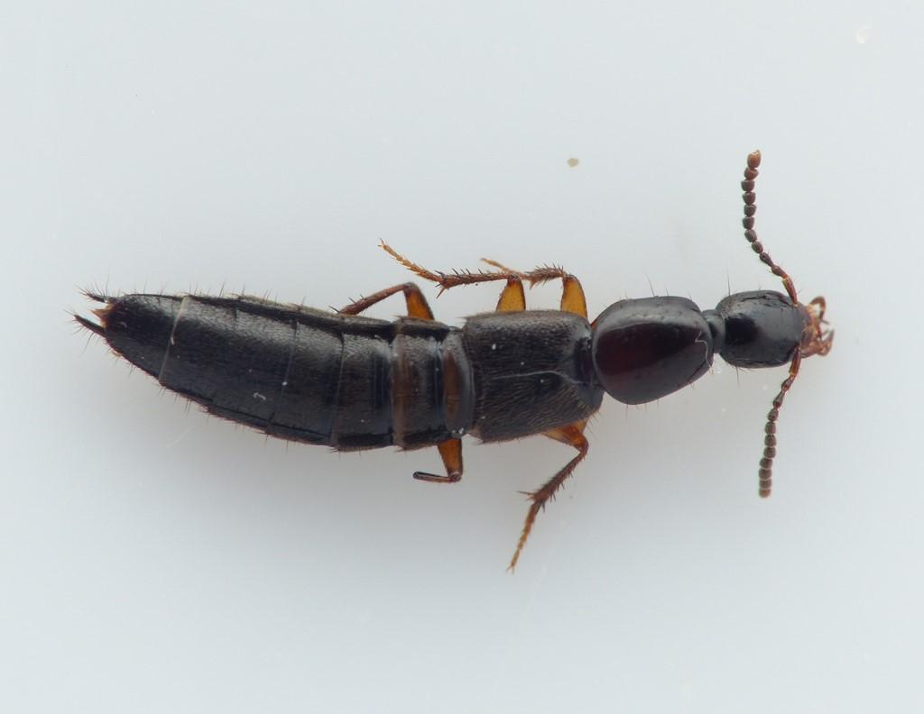 Gabrius osseticus