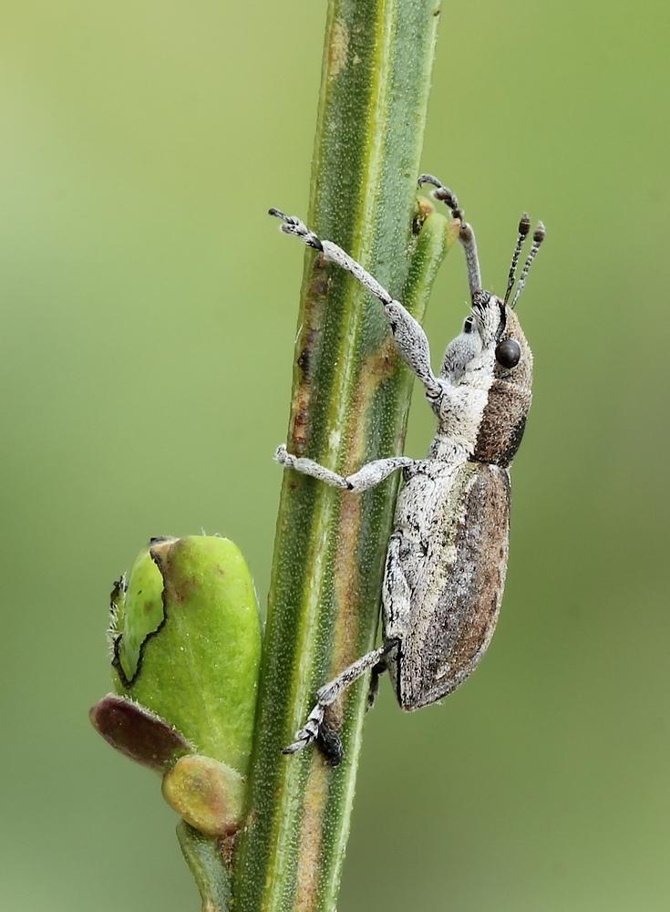 Foto/billede af Charagmus griseus (Charagmus griseus)