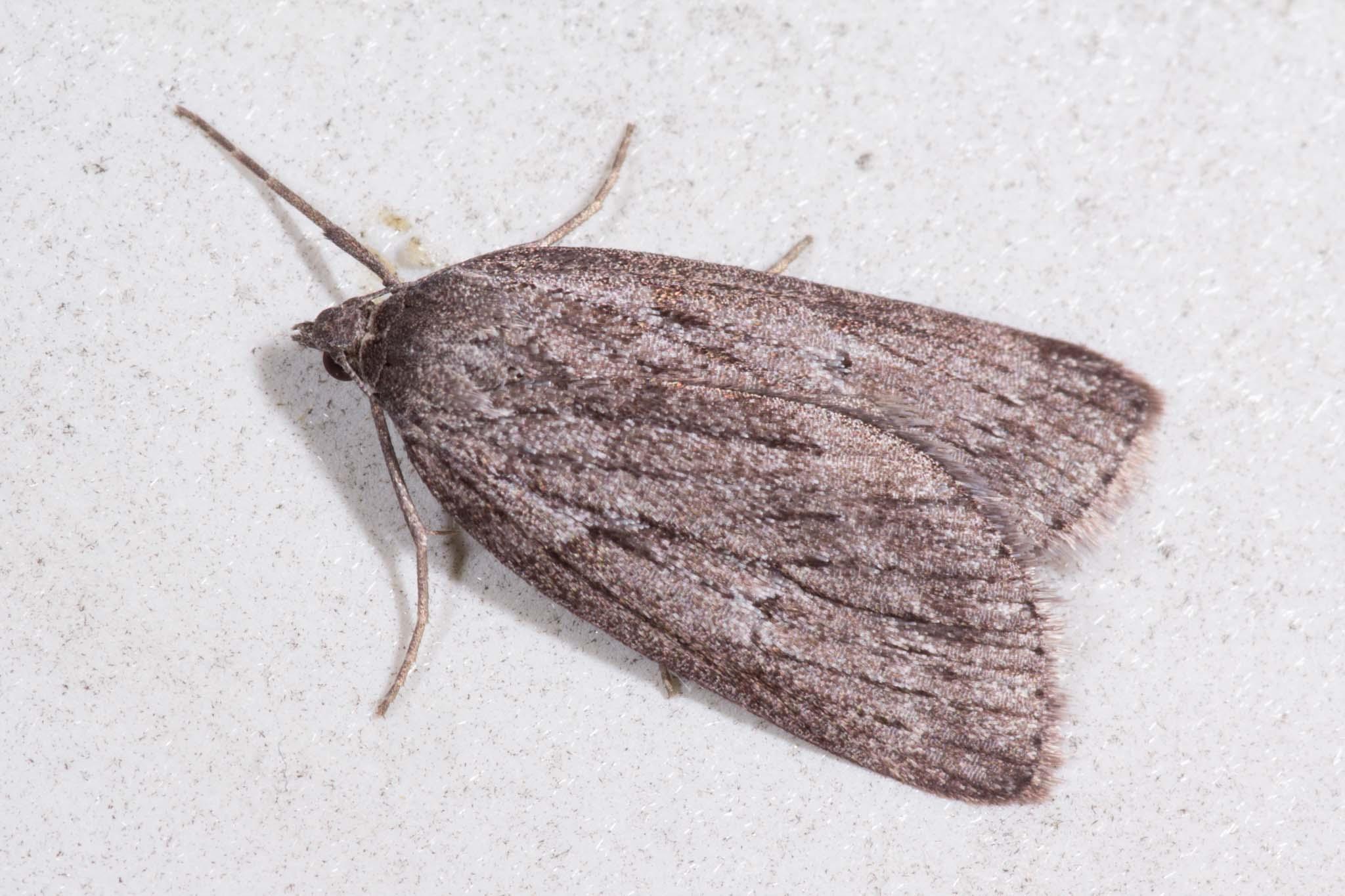 Foto/billede af Mørk Hedemåler (Pachycnemia hippocastanaria)