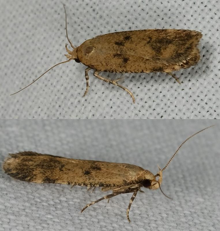 Foto/billede af Katostmøl (Pexicopia malvella)
