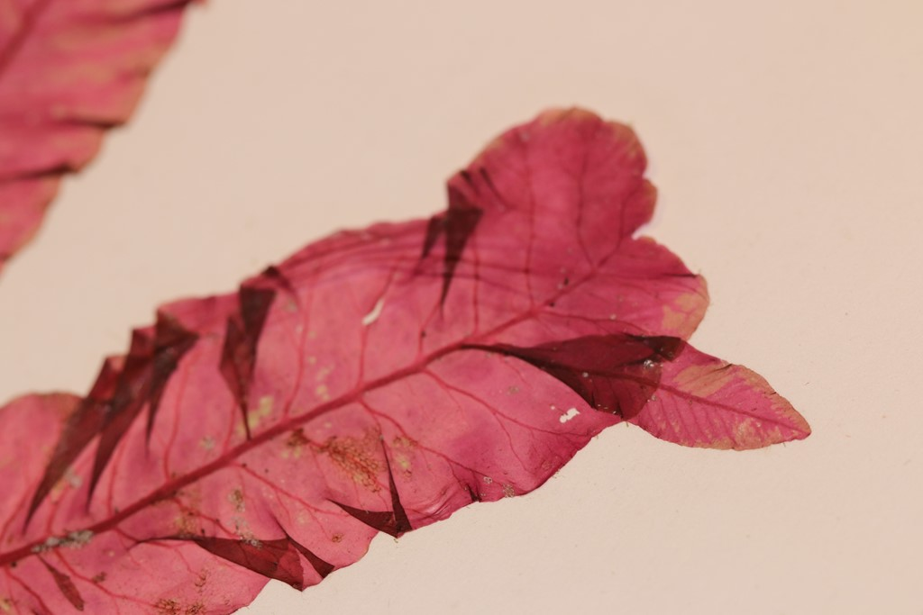 Blodrød Ribbeblad (Delesseria sanguinea)