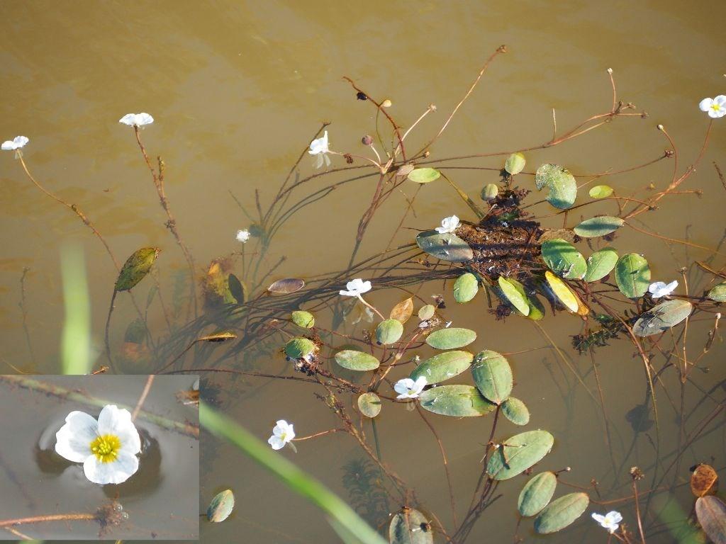 Vandranke (Luronium natans)
