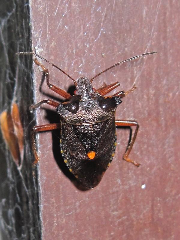 Foto/billede af Rødbenet bredtæge (Pentatoma rufipes)