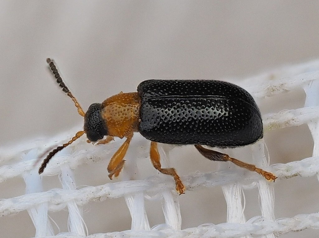 Zeugophora frontalis