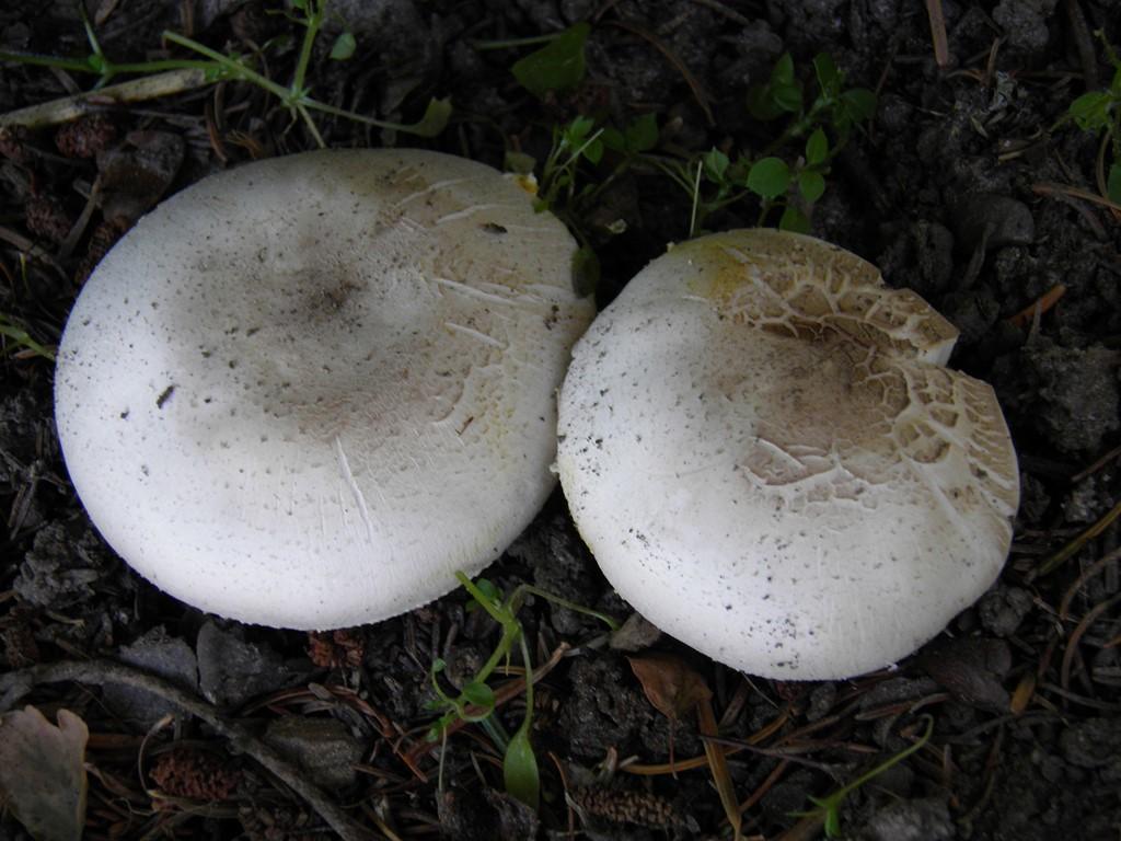 Karbol-Champignon (Agaricus xanthodermus)