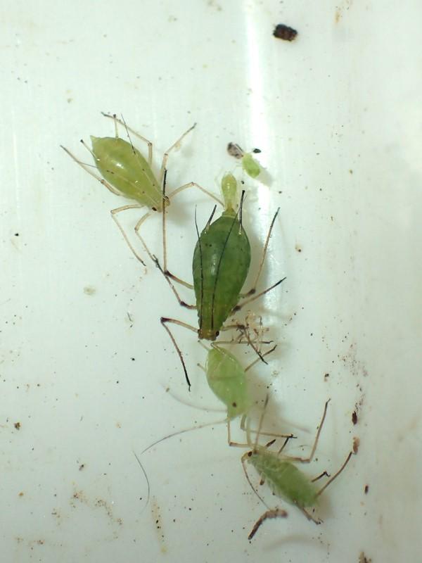 Mørk Brombærbladlus (Macrosiphum funestum)