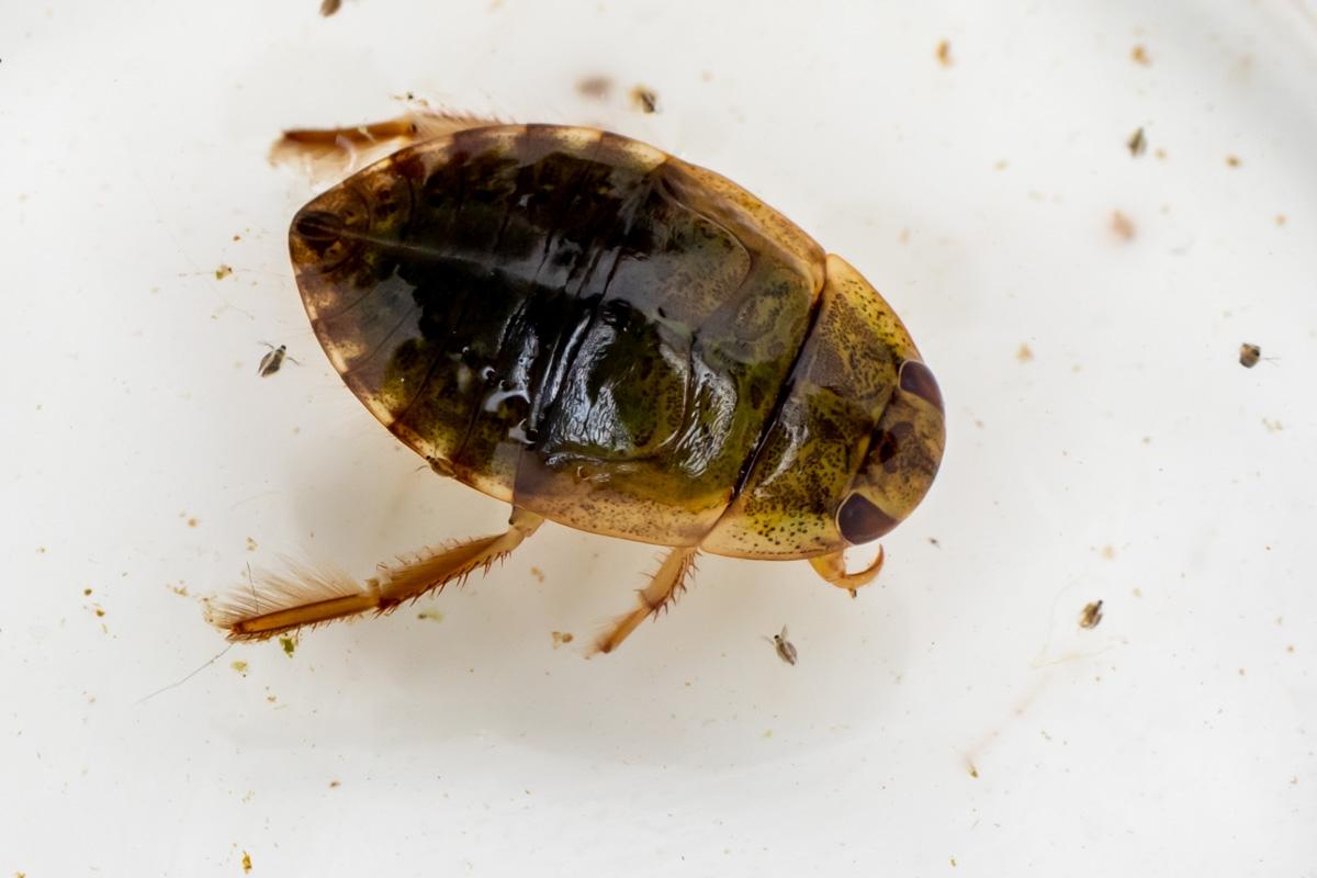 Foto/billede af Vandrøver (Ilyocoris cimicoides)
